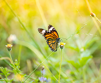 UTSA invited to join Monarch Joint Venture, following recognition of butterfly protection efforts