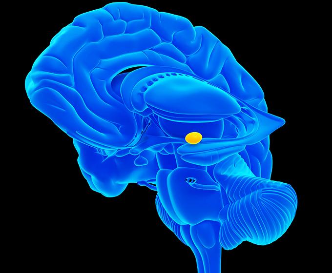 UTSA researchers discover new pathways in brain's amygdala ...