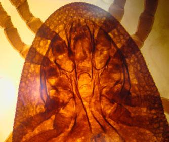 Professor Janakiram Seshu explores new method to stop Lyme disease